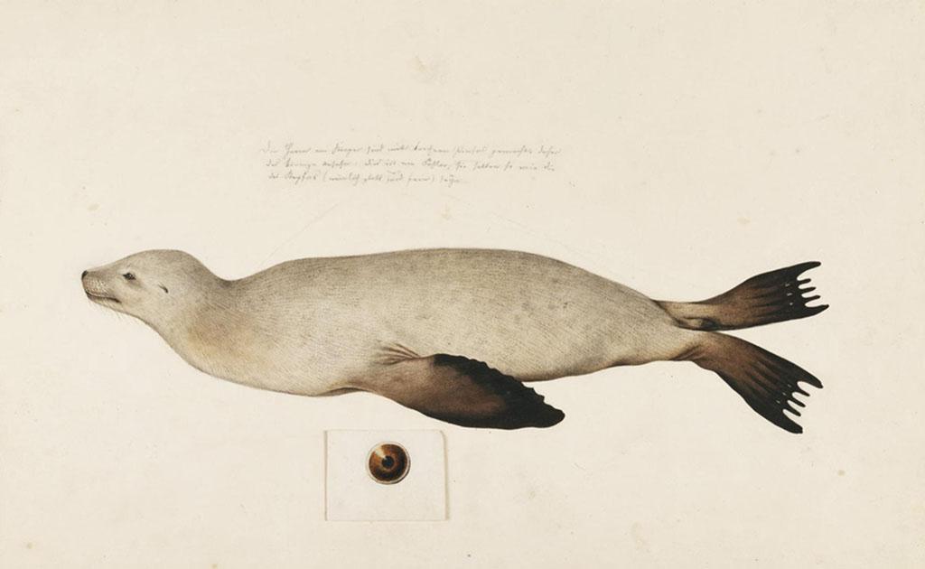 ニホンアシカ(Japanese sea lion) | 絶滅動物図鑑