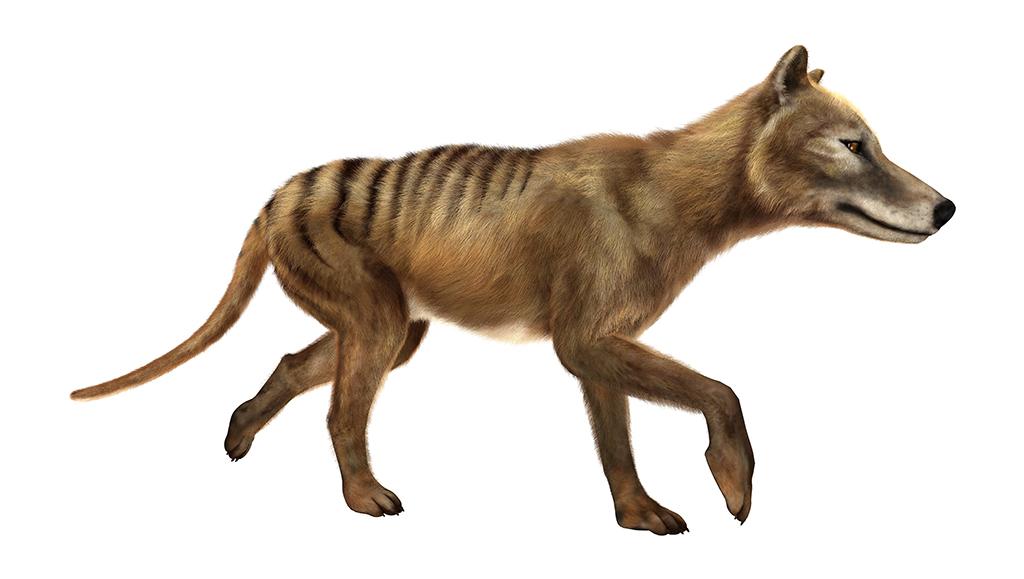 タスマニアタイガー(Thylacine) ...